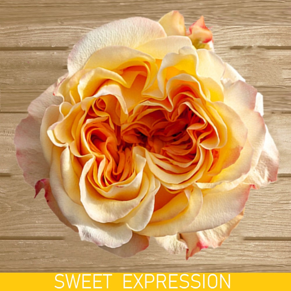 Sweet Expression Garden Rose - EbloomsDirect