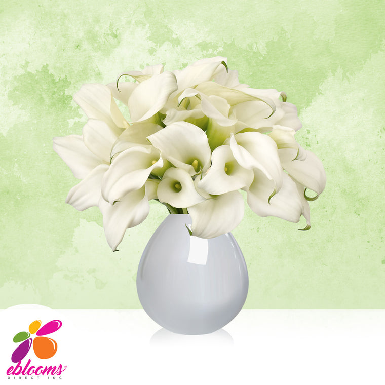 Mini Callas White Pack 80 Stems