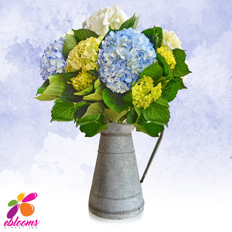 Hydrangeas Trio White, Blue and Green- EbloomsDirect