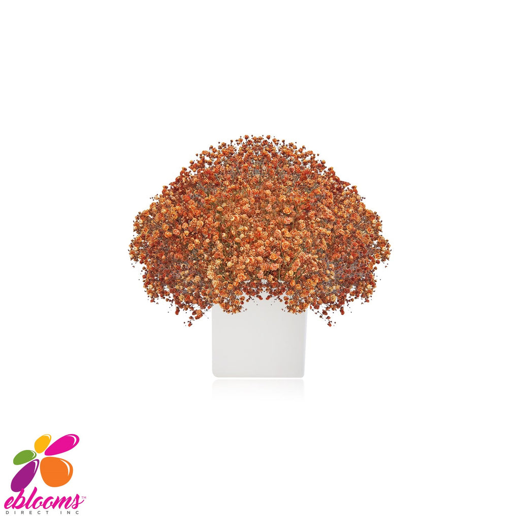 Gypsophila Baby's Breath Orange Tinted - EbloomsDirect