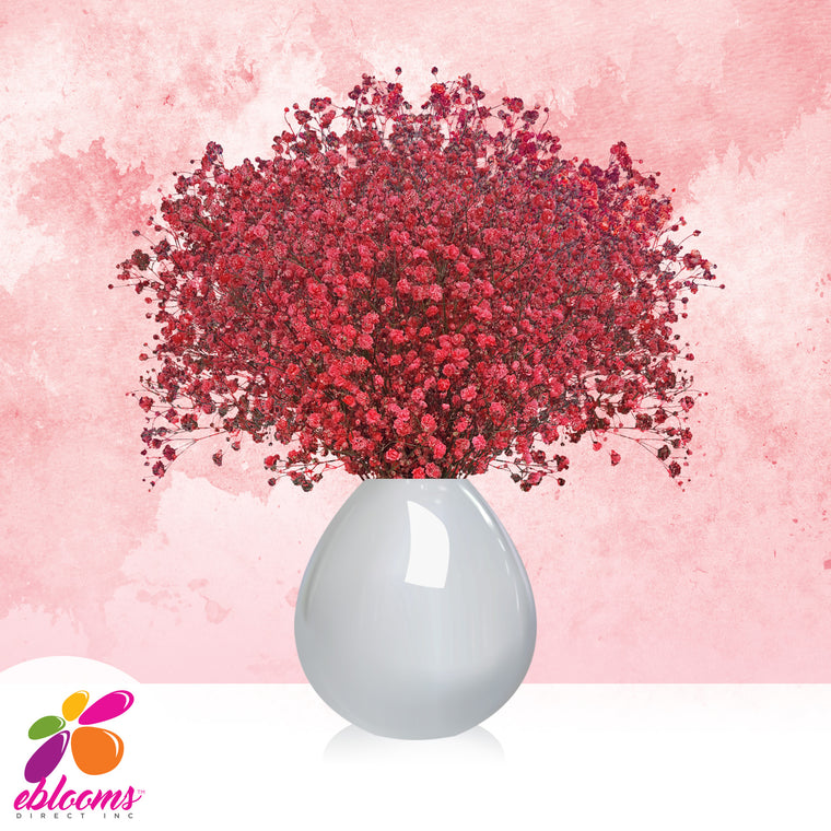 Gypsophila Baby's Breath Red Tinted - EbloomsDirect