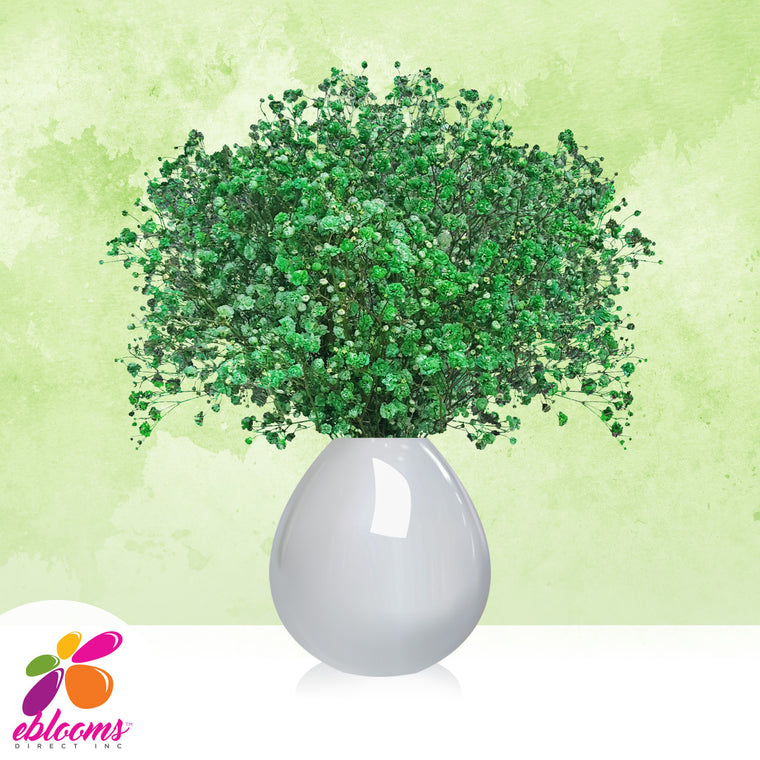 Gypsophila Baby's Breath Green Tinted - EbloomsDirect