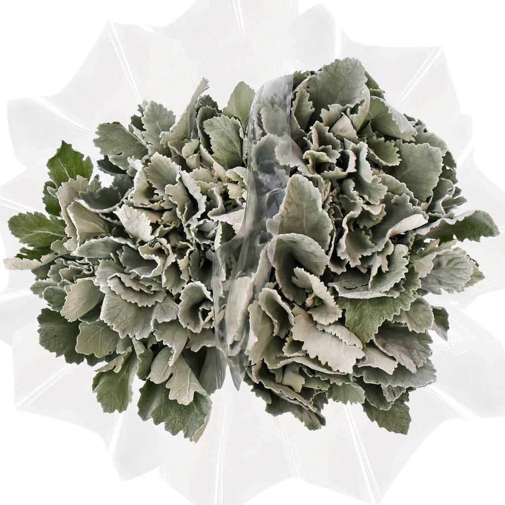 Dusty Miller Brad Leaf