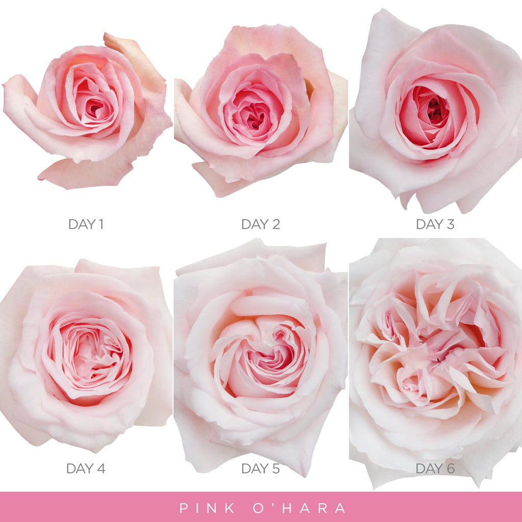 Garden Roses - Pink O'hara - Wholesale roses - Scented fragrant roses - English Roses - EbloomsDirect