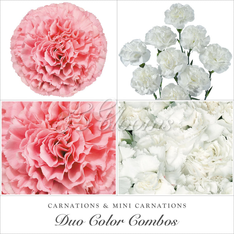 Carnations and Mini Carnation White - Pink - EbloomsDirect