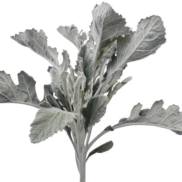 Dusty Miller BROAD LEAF Foliage - EbloomsDirect