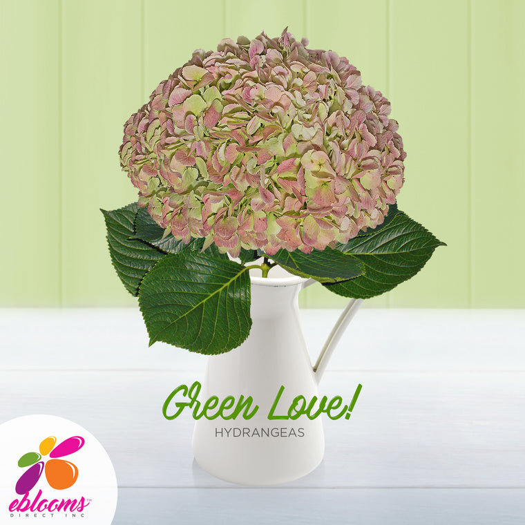 Hydrangea Antique Green - EbloomsDirect