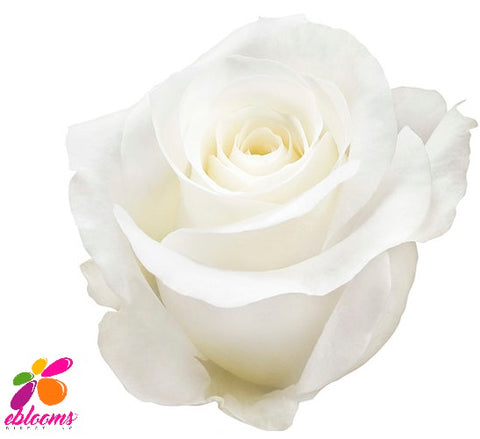 Akito Rose Variety - EbloomsDirect