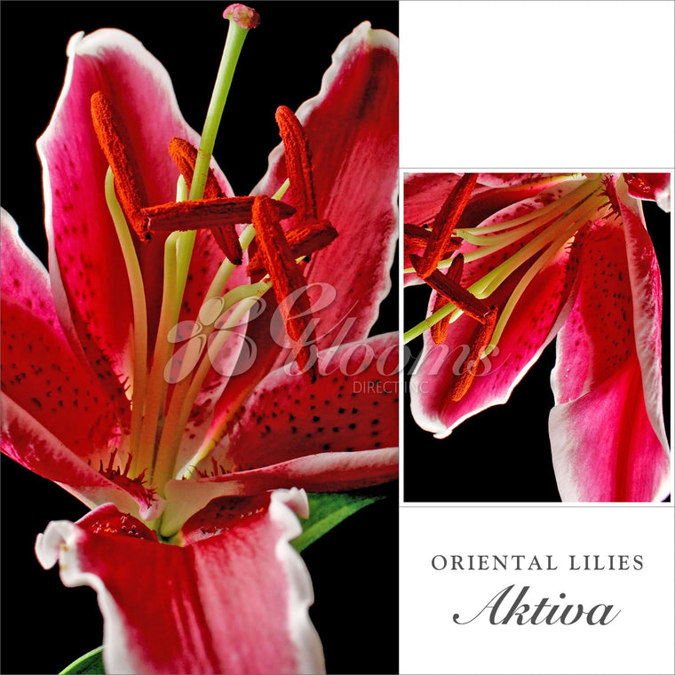 Oriental Lilies Pink - EbloomsDirect
