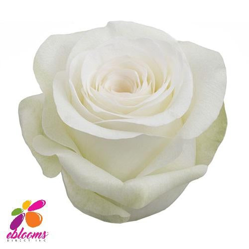Alba Rose Variety - EbloomsDirect