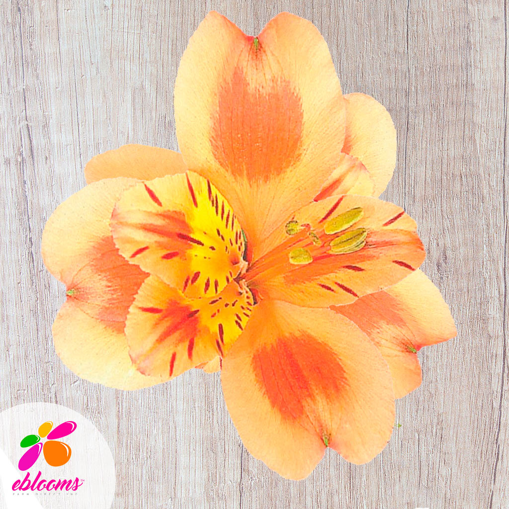 Alstroemeria Orange - EbloomsDirect