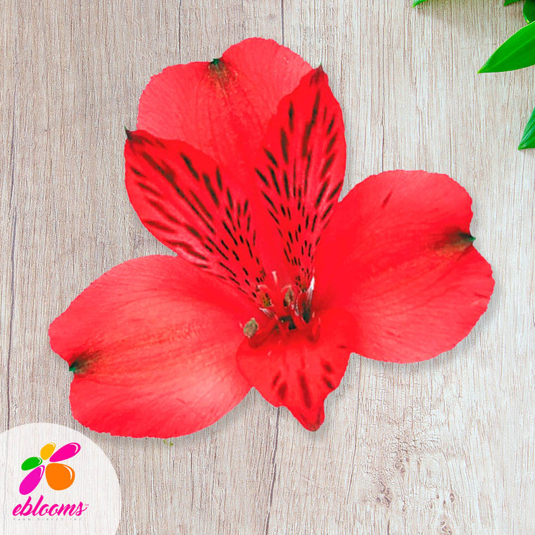 Red Bulk Alstromeria Flowers - EbloomsDirect