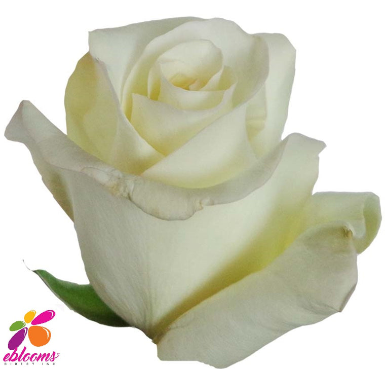 Anastasia Rose Variety - EbloomsDirect
