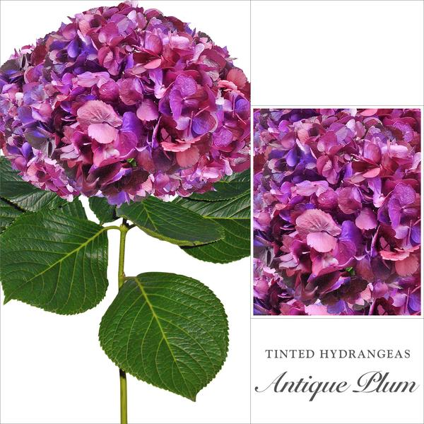 Hydrangea Plum Antique Purple Airbrushed - EbloomsDirect