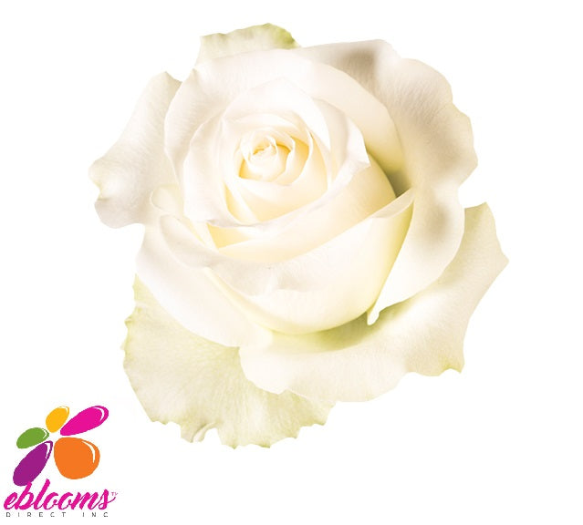 Arctica Rose Variety - EbloomsDirect