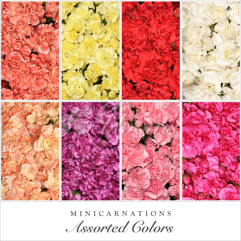 Mixed colors Mini Carnations - EbloomsDirect
