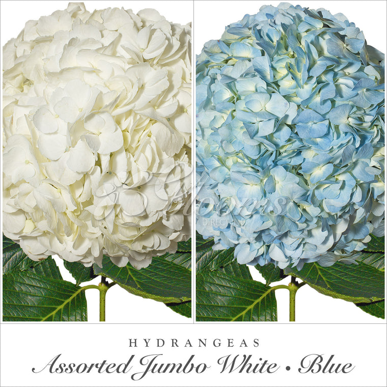 Hydrangea White & Blue Assorted - EbloomsDirect