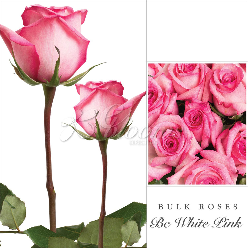 Rose Bicolor White and Pink by Variety - EbloomsDirect