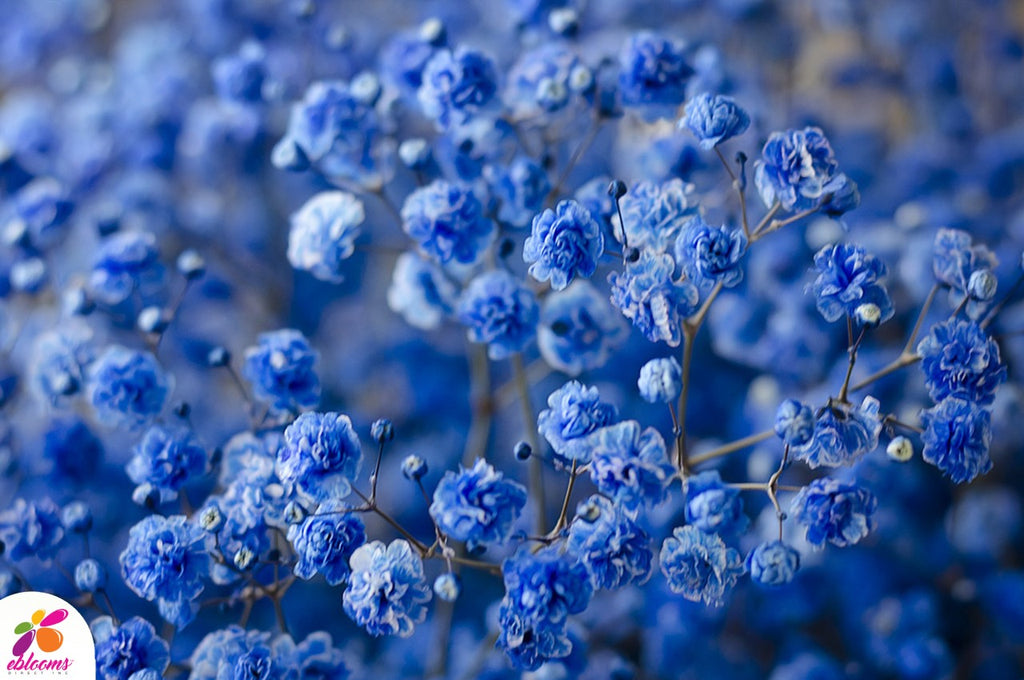Baby's Breath Blue Tinted
