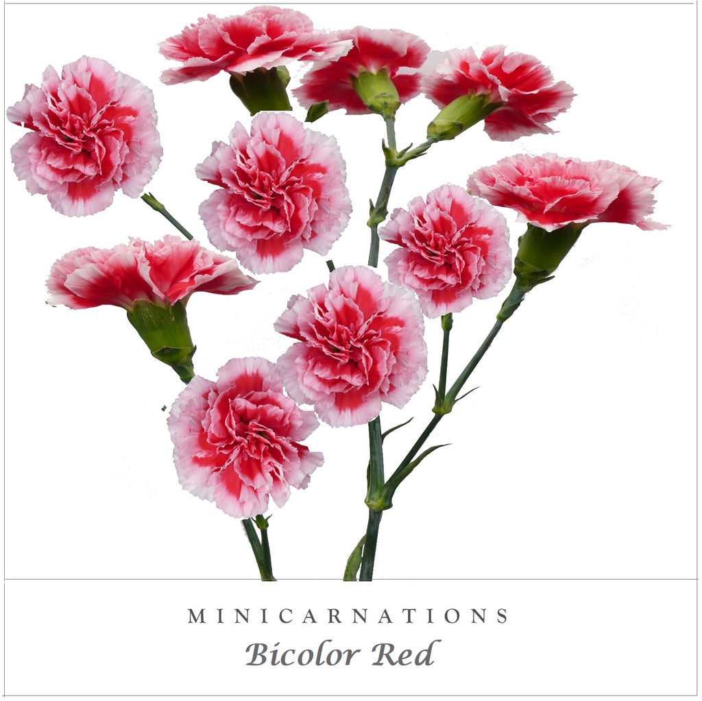 Mini Carnations Bicolor Red - EbloomsDirect