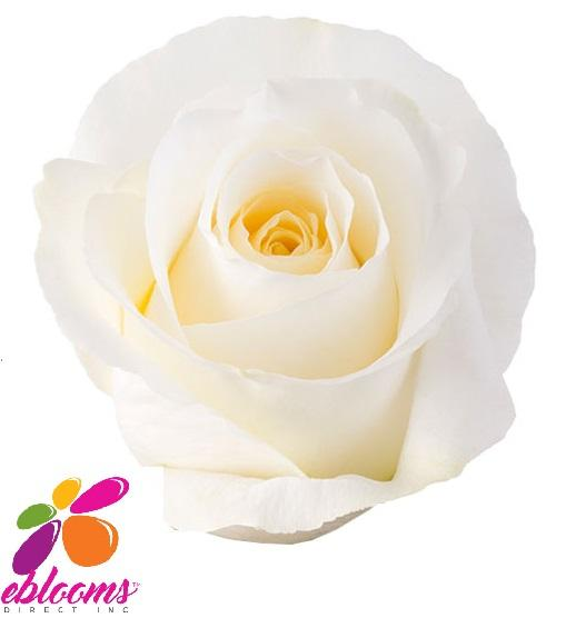 Blizzard Rose Variety - EbloomsDirect