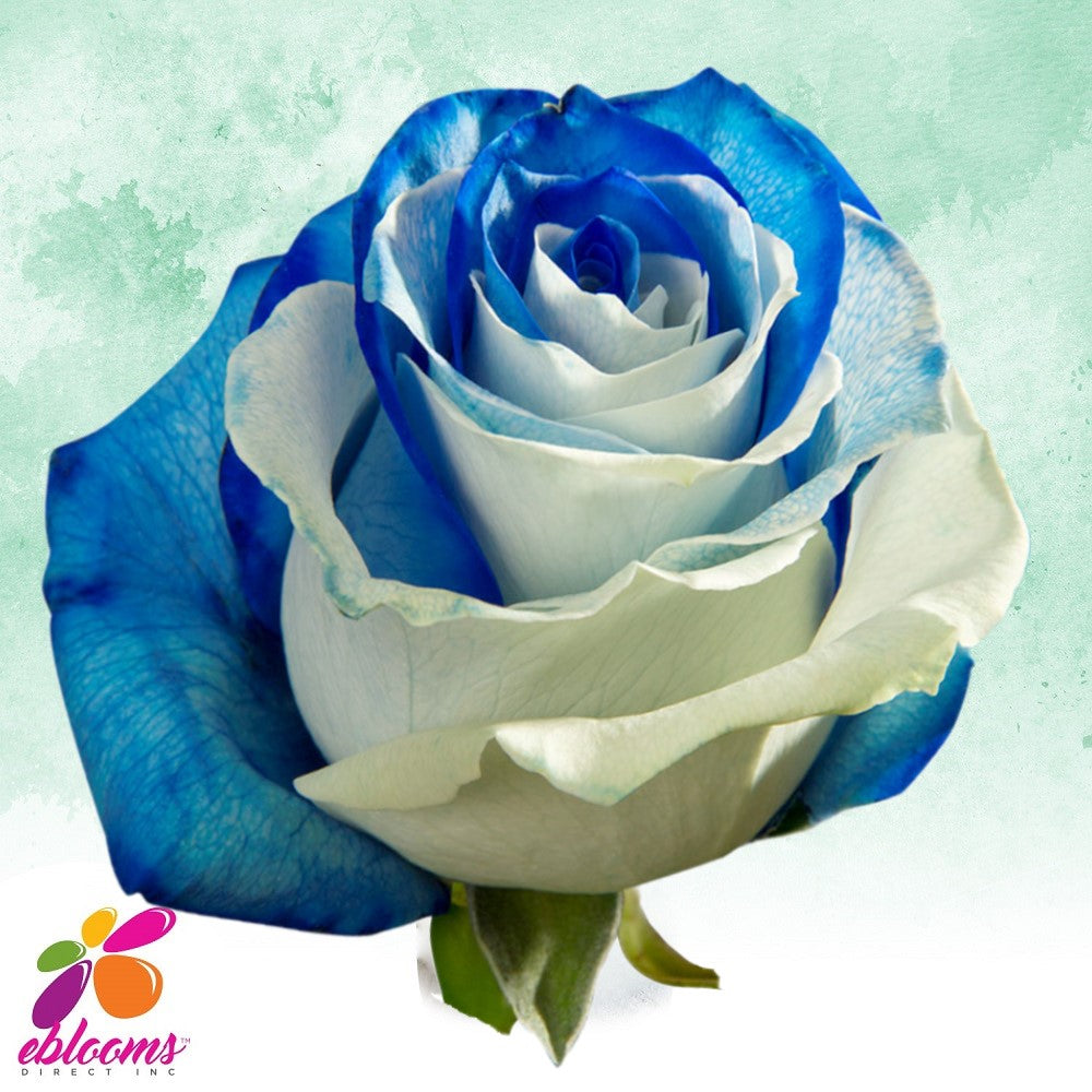 Blue and White Roses - EbloomsDirect