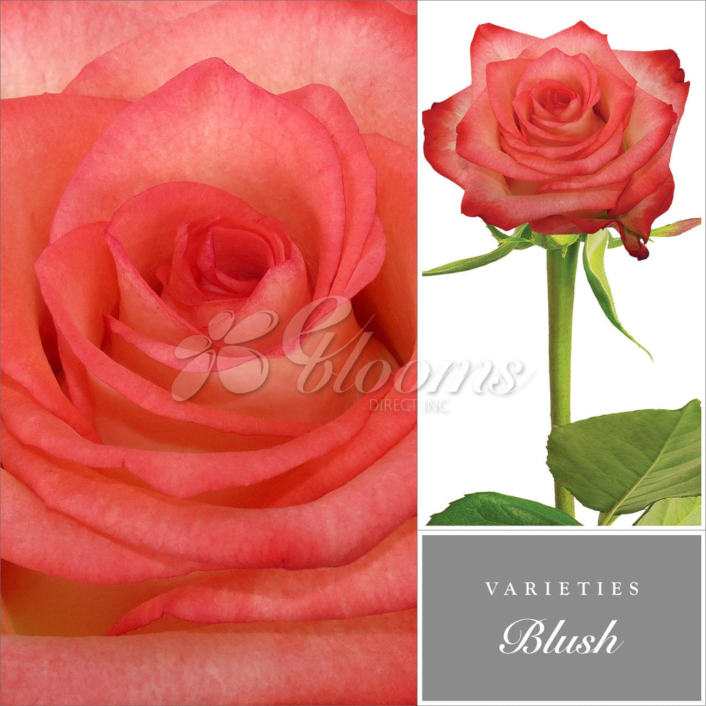 Rose Blush Bicolor White and Red - EbloomsDirect