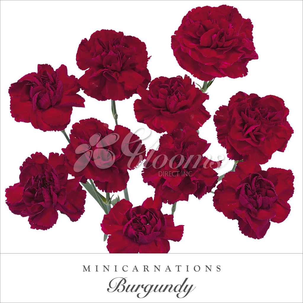 Burgundy Mini Carnations - EbloomsDirect