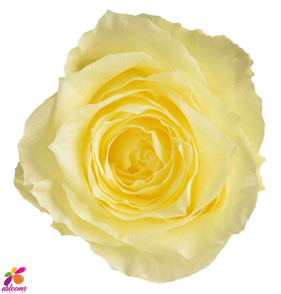 Preserved Flower light yellow roses - wholesale rose