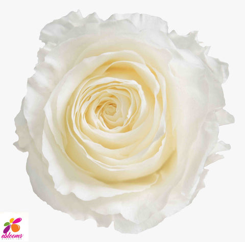 Preserved Flower Rose White - wholesale rose