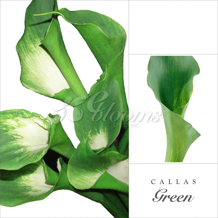 Calla Lily Green Pack 30 Stems - EbloomsDirect