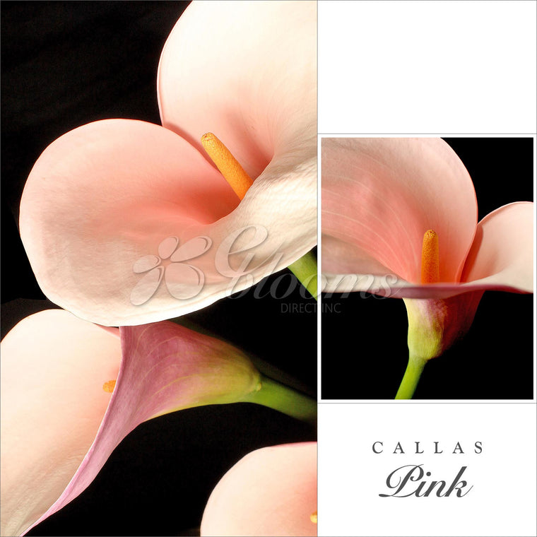 Calla Lily Pink Flamingo Pack 30 Stems - EbloomsDirect