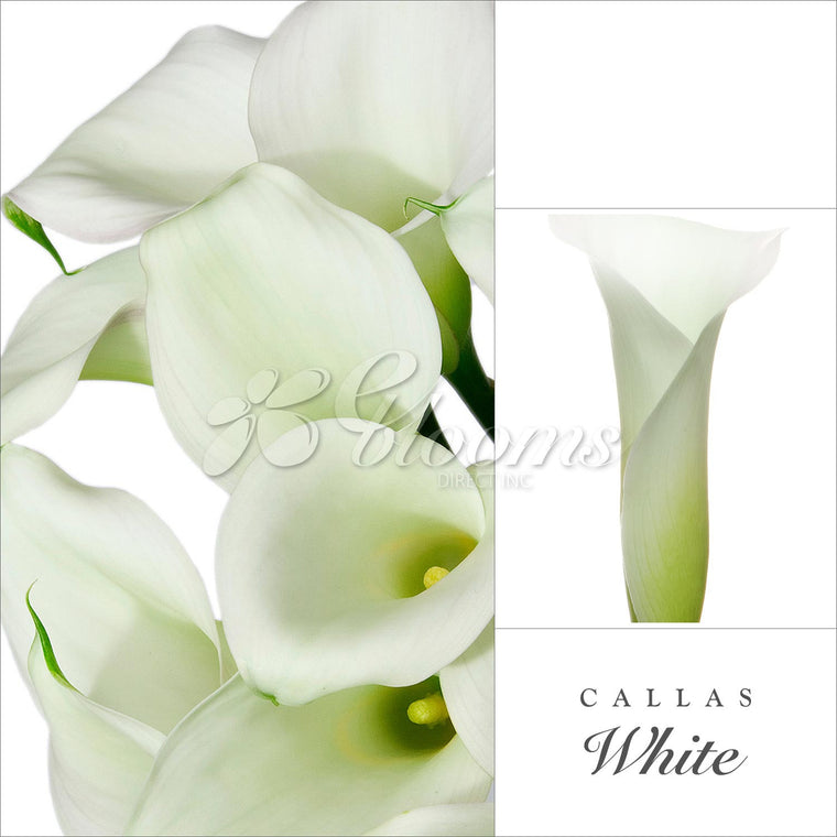 Calla Lily White Pack 25 Stems- EbloomsDirect
