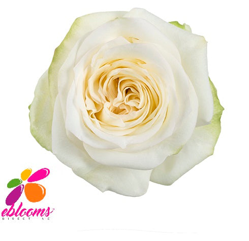Candlelight Rose Variety - EbloomsDirect
