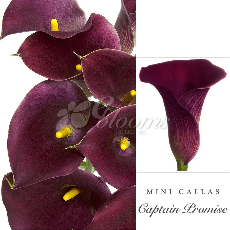 Mini Callas Dark Purple - EbloomsDirect