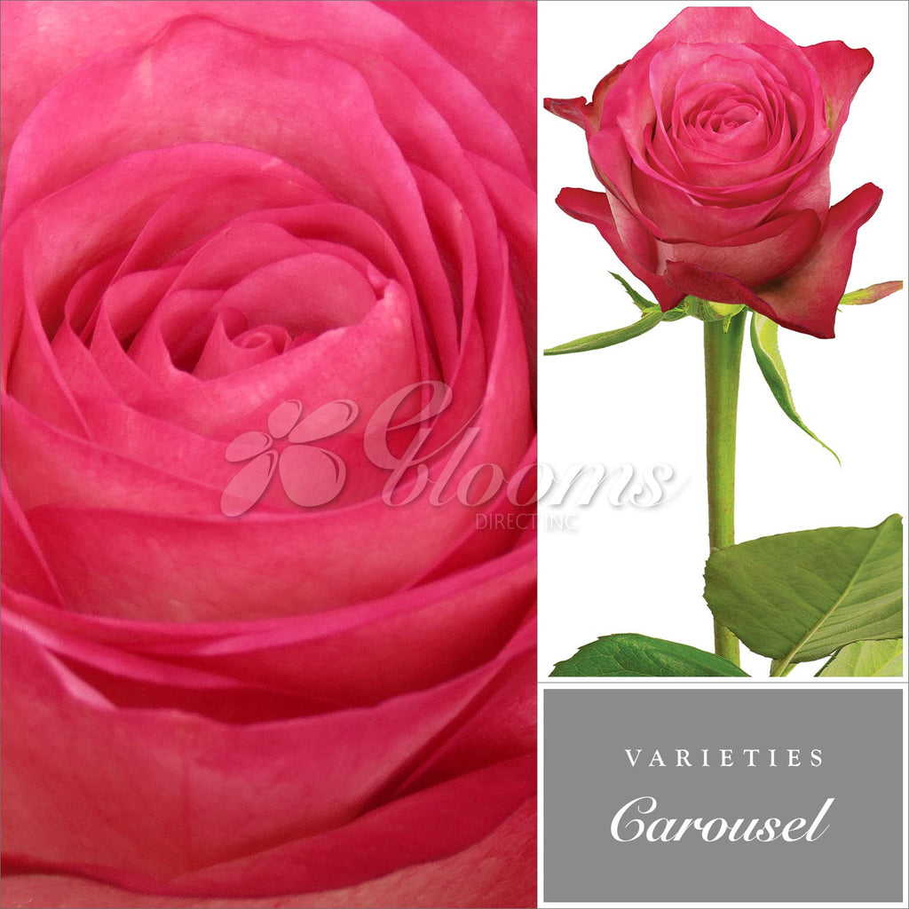 Rose Carrousel Bicolor White and Pink - EbloomsDirect