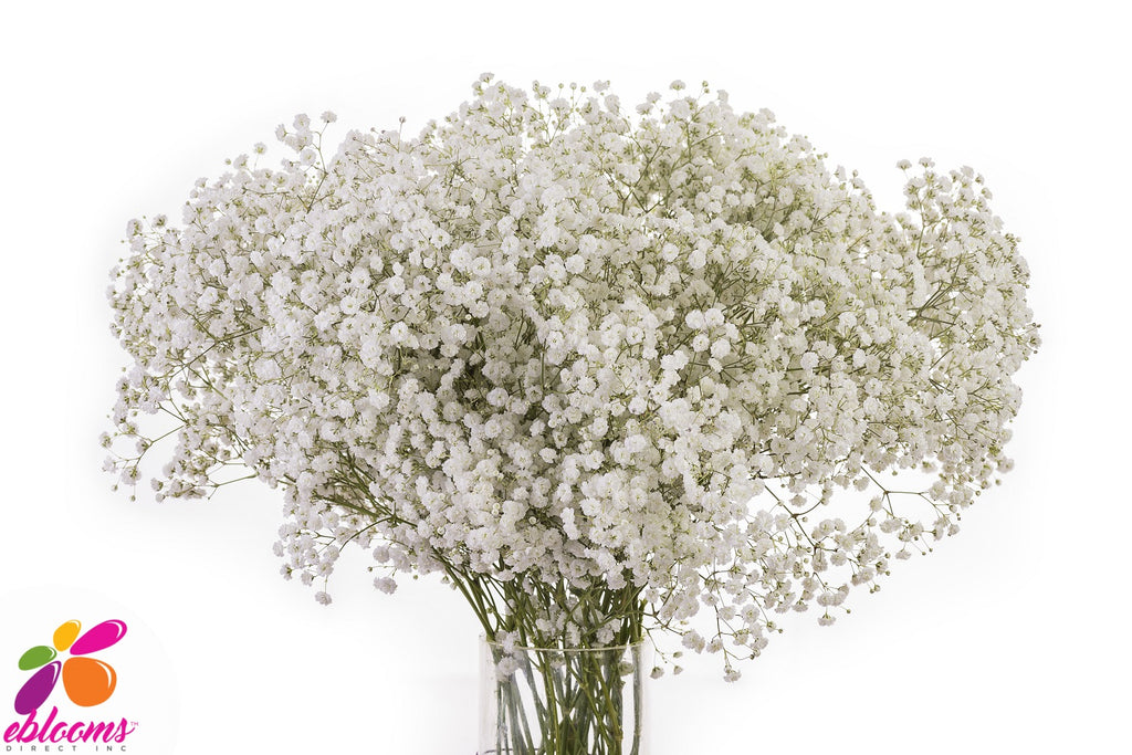 Cloud baby's Breath