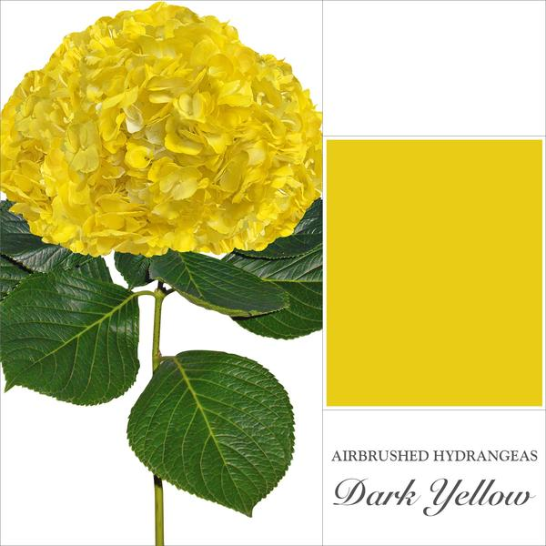 Hydrangea Dark Yellow - EbloomsDirect