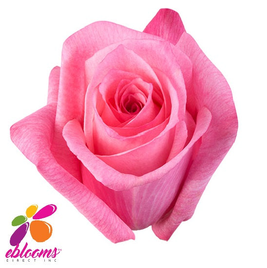 Dark Engagement Rose Variety - EbloomsDirect