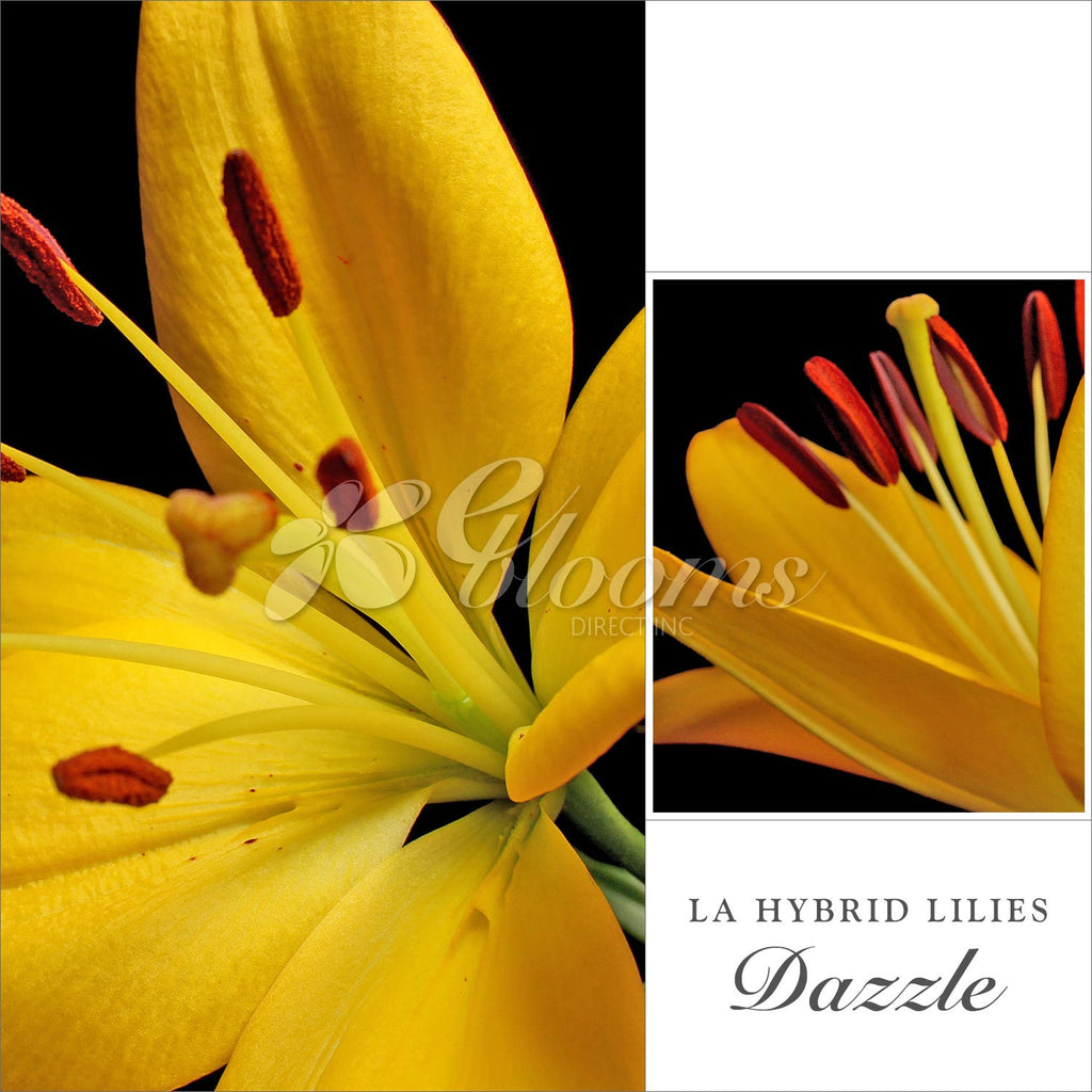 Yellow Hybrid Lily - EbloomsDirect
