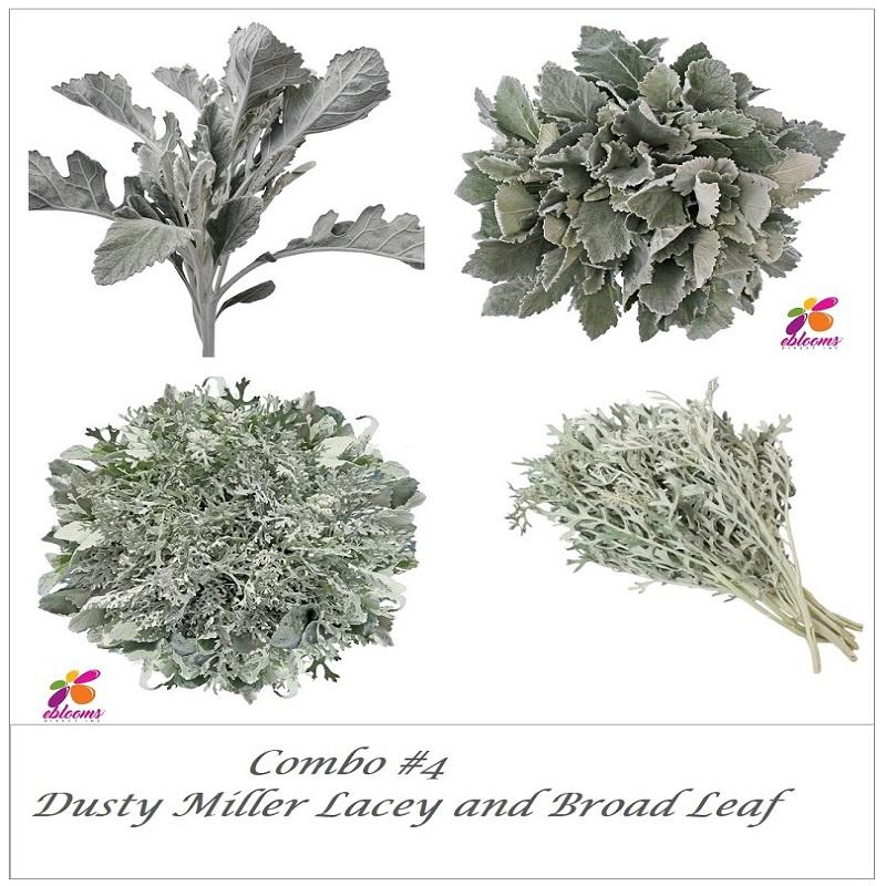 Combo box Dusty Miller Lacey and Dusty Miller broad Leaf