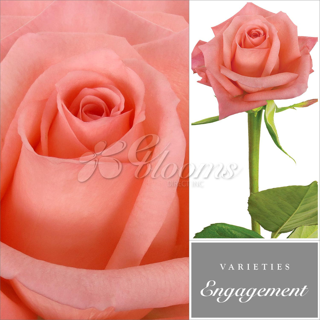 Rose Engagement Coral Peach - EbloomsDirect