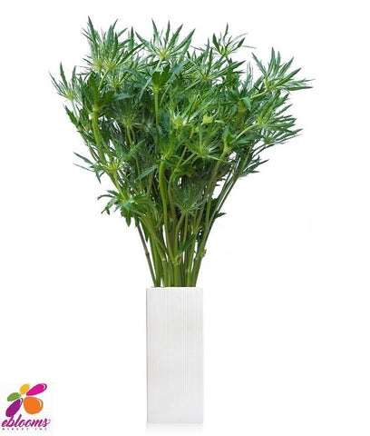 Eryngium Green - EbloomsDirect
