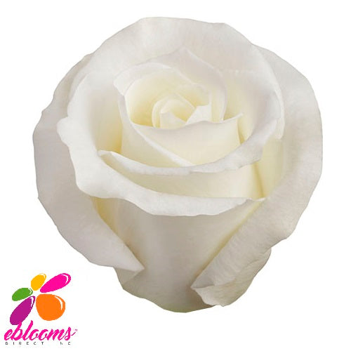 Escimo Rose variety White - EbloomsDirect