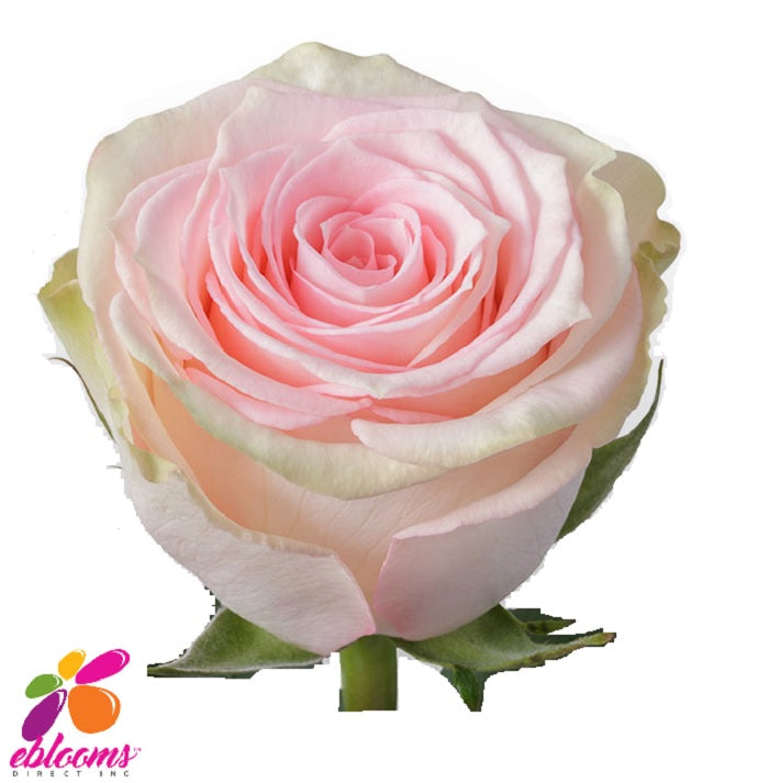Esperance Rose Variety - EbloomsDirect