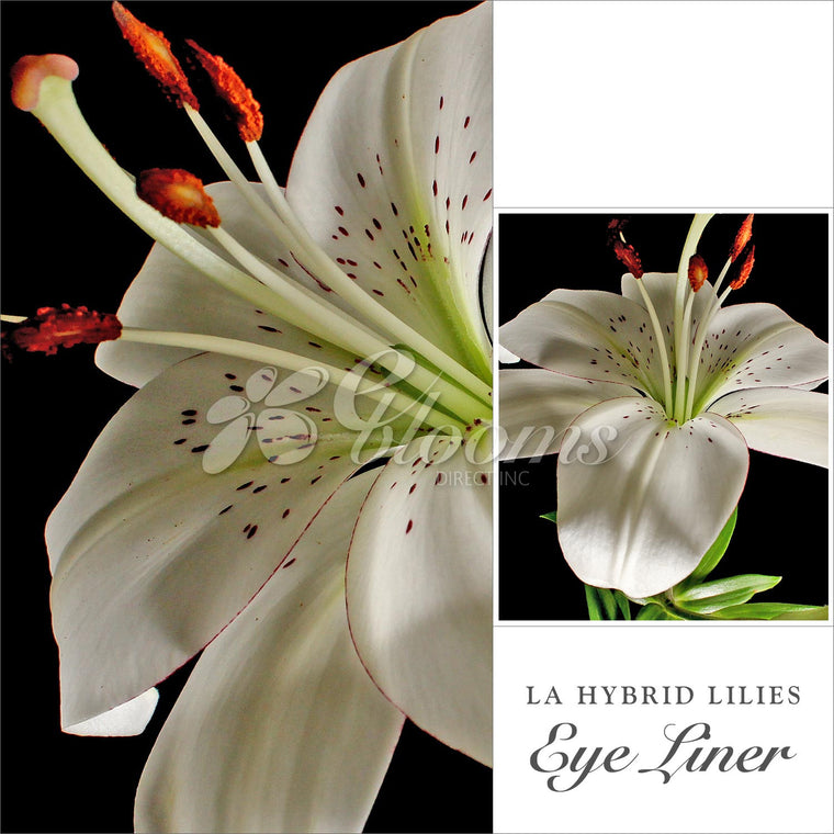 L.A. Hybrid Lily White Pack 50 stems - EbloomsDirect