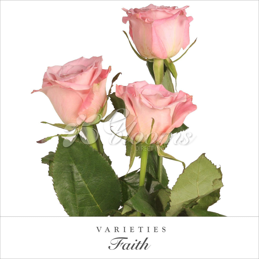 Rose Faith Light Pink - EbloomsDirect