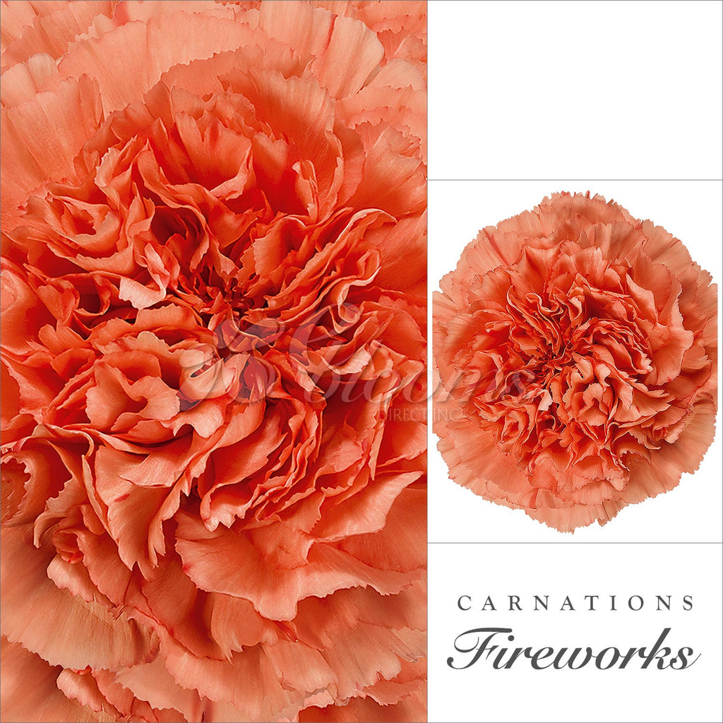 Orange Carnation - EbloomsDirects