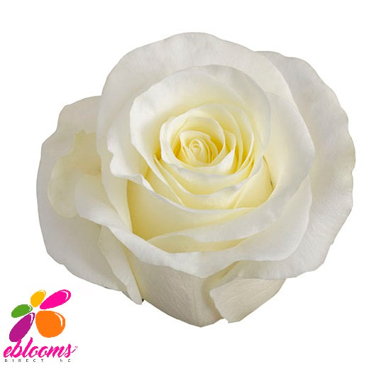 First Lady Rose variety White - EbloomsDirect