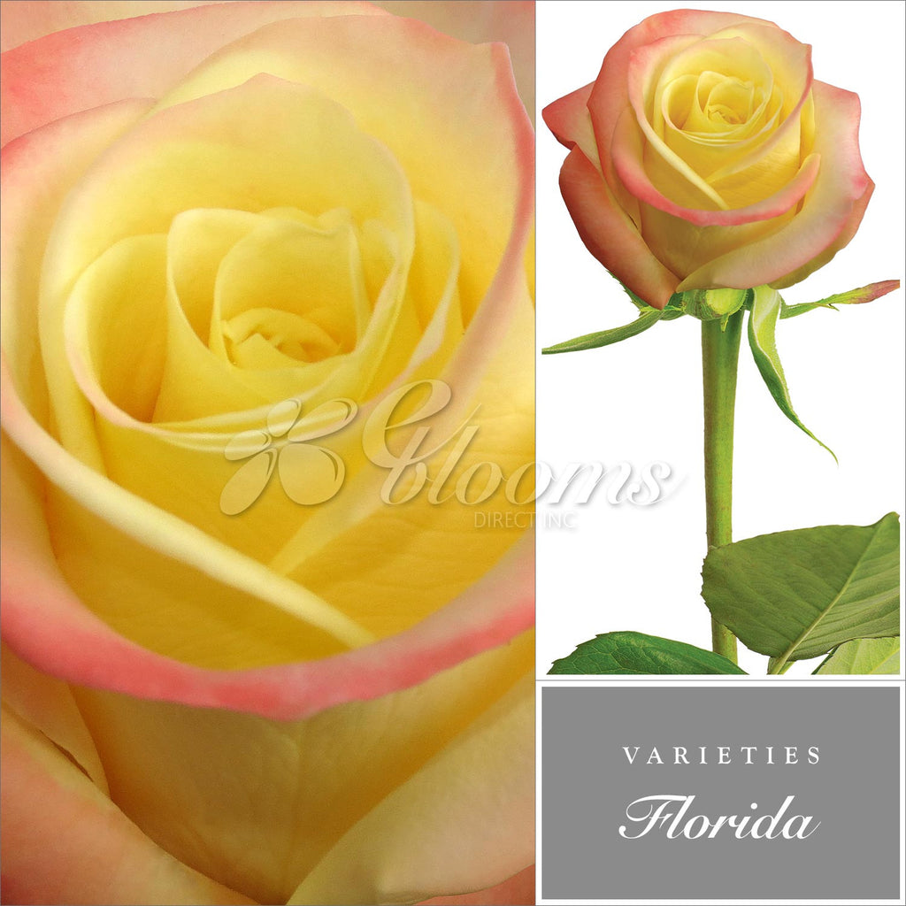 Rose Bicolor Yellow / Red by Variety - EbloomsDirect
